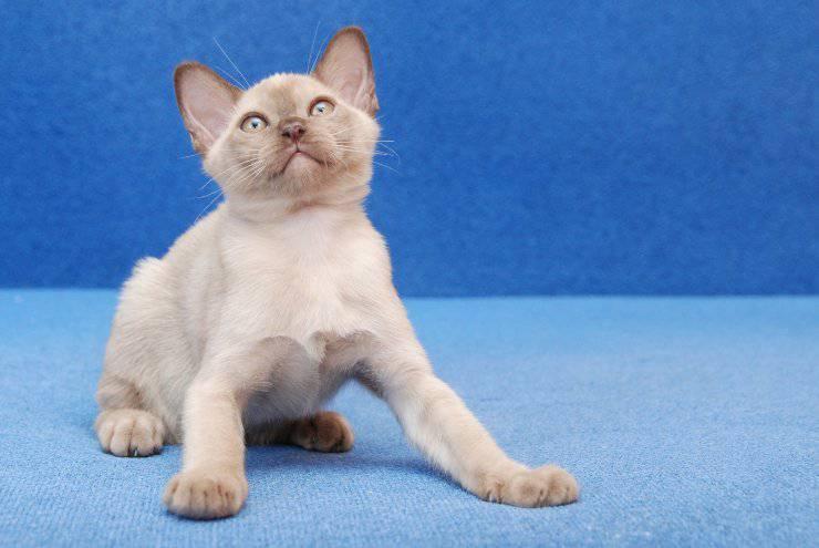 Razze di gatti più tolleranti verso altri animali: il burmese europeo