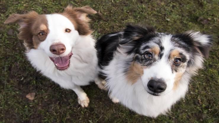 Razze di cani compatibili col Pastore australiano