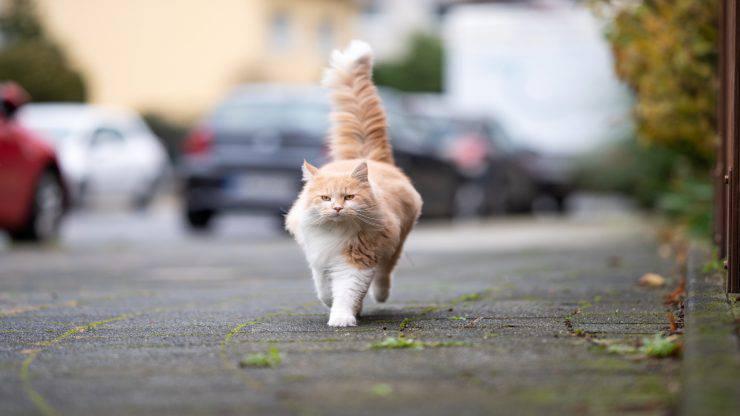 Trauma da investimento nel gatto