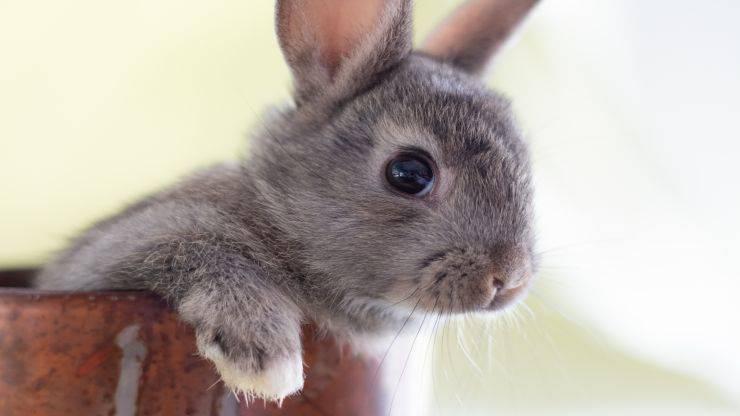 Quanto vive un coniglio