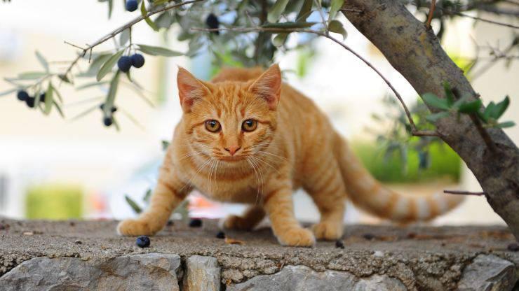 Il gatto mangia le olive
