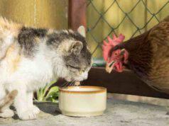 La convivenza tra gatto e galline è possibile?