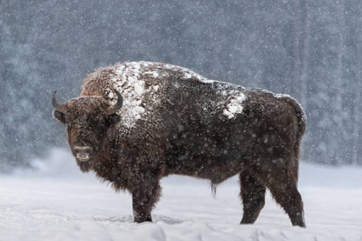 bisonte americano non estinzione nativi