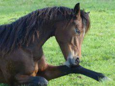 Cavallo con sobbattitura