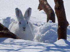 lepre bianca neve