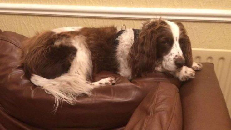 proprietario dorme cane divano