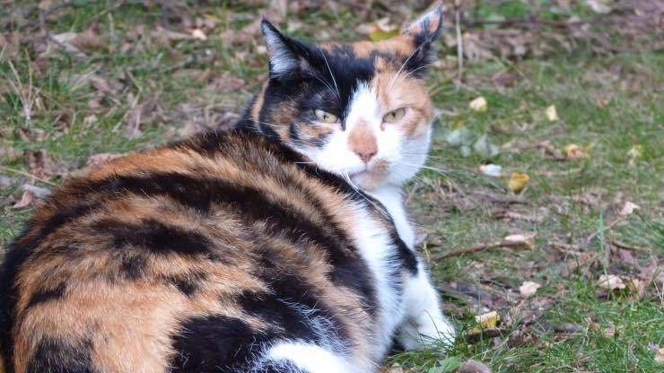 Esiste un test di gravidanza per gatti