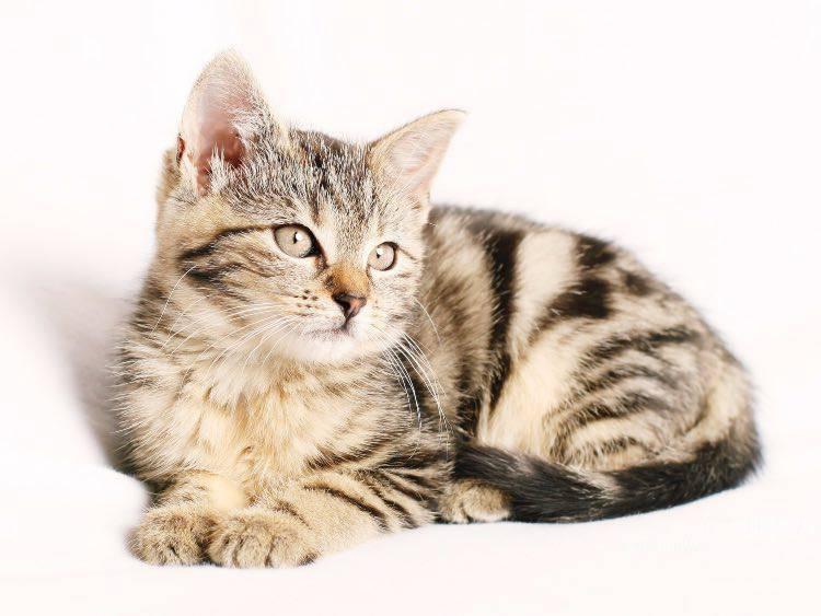 Colorazione del pelo nel gatto