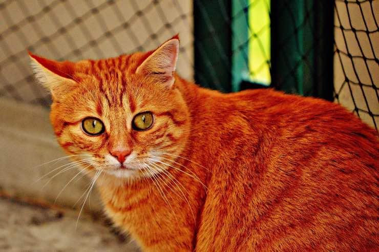 Tipo di mantello rosso nei gatti