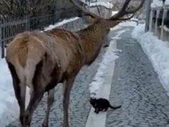 Gatto Cervo Video Neve