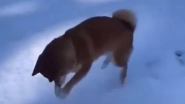 Cucciolo Shiba Inu Neve Impronte Video