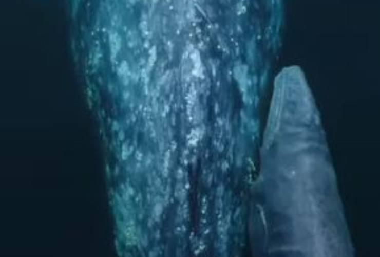 Balena Grigia Cucciolo Video