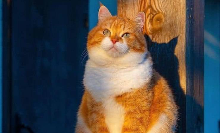 Gatto Ginger Neve