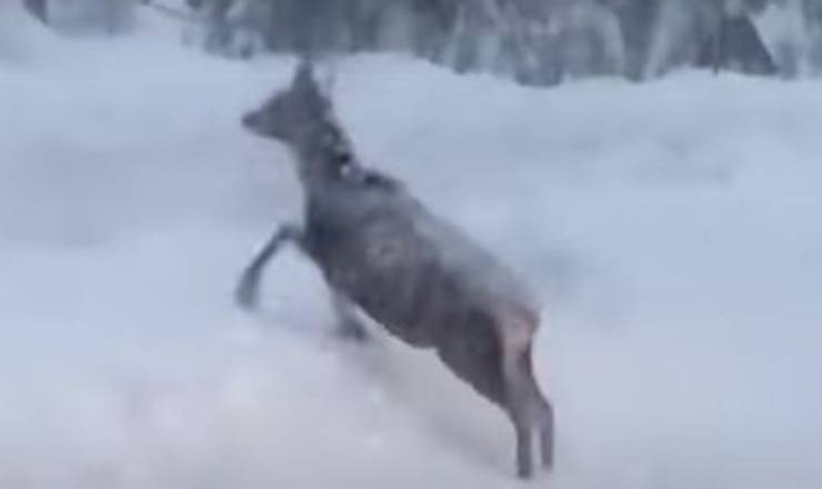 Cervo Neve Bufera Video