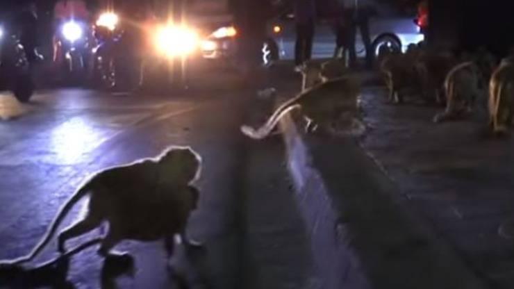 Scimmie Fuochi Artificio Video