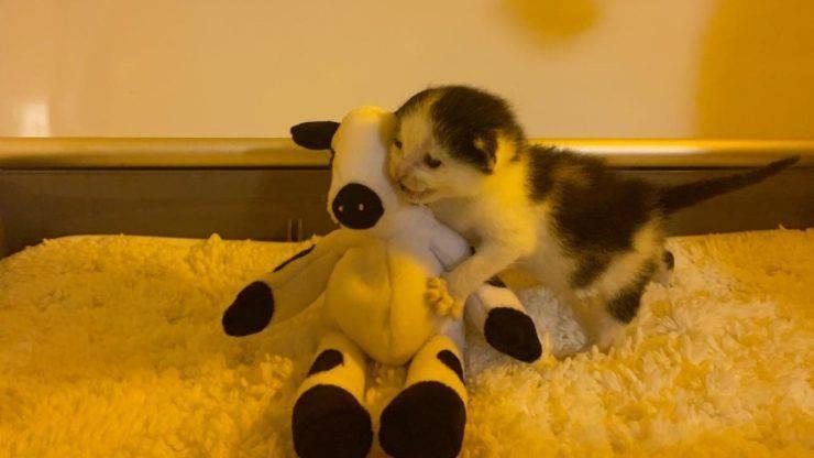 gattino orfano mucca peluche