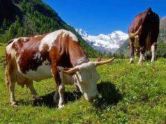 Mucche da latte che pascolano