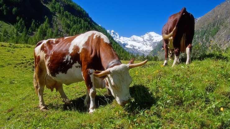 Dieta per mucche da latte con pascoli naturali