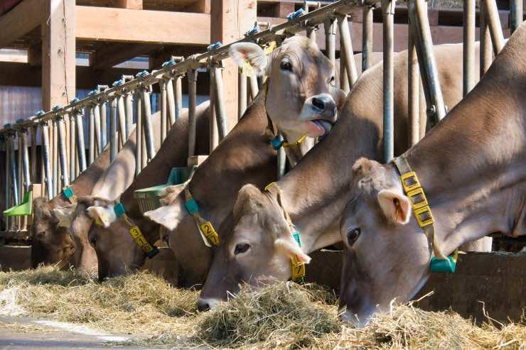 mucche stalla