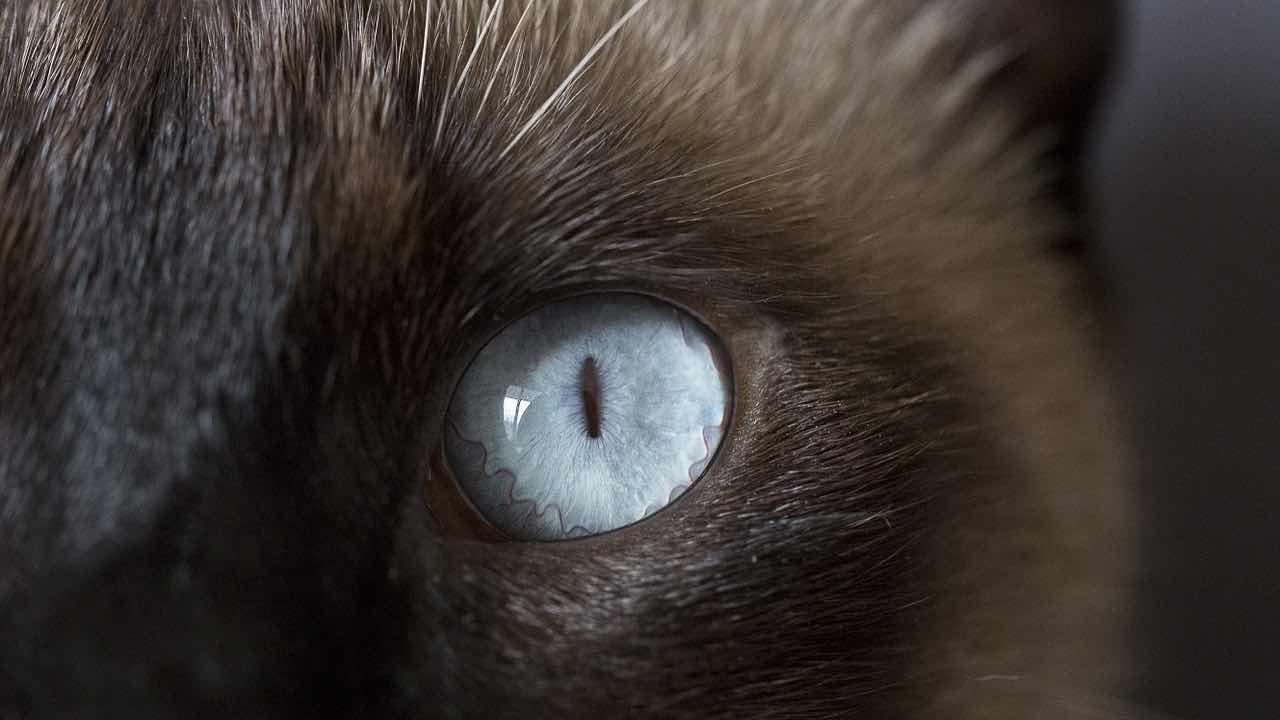 Occhio siamese