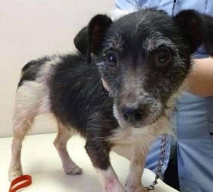 maltratta cagnolino pulci donna condannata