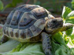 La tartaruga può mangiare il basilico