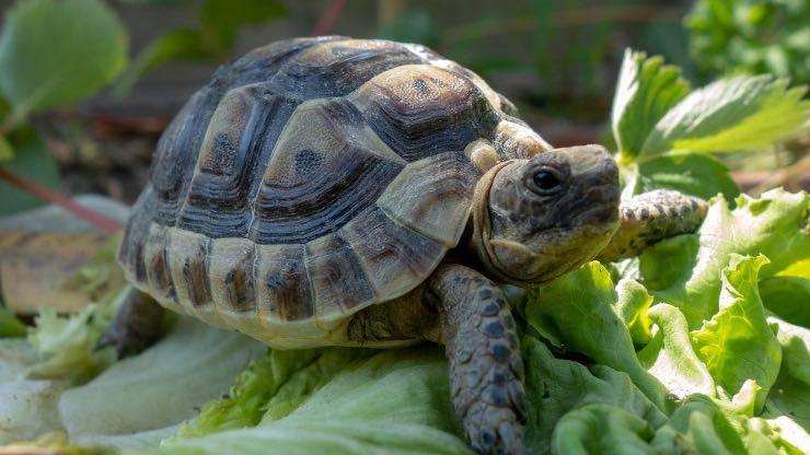 Tartaruga che mangia basilico