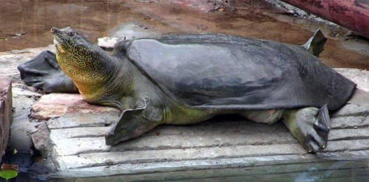 Tartaruga Grande Yangtze