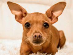 Pinscher Chihuahua