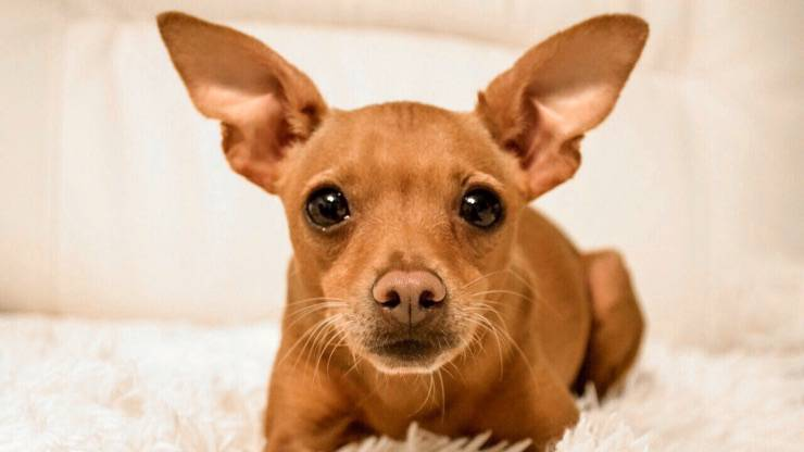 Incrocio Pinscher Chihuahua
