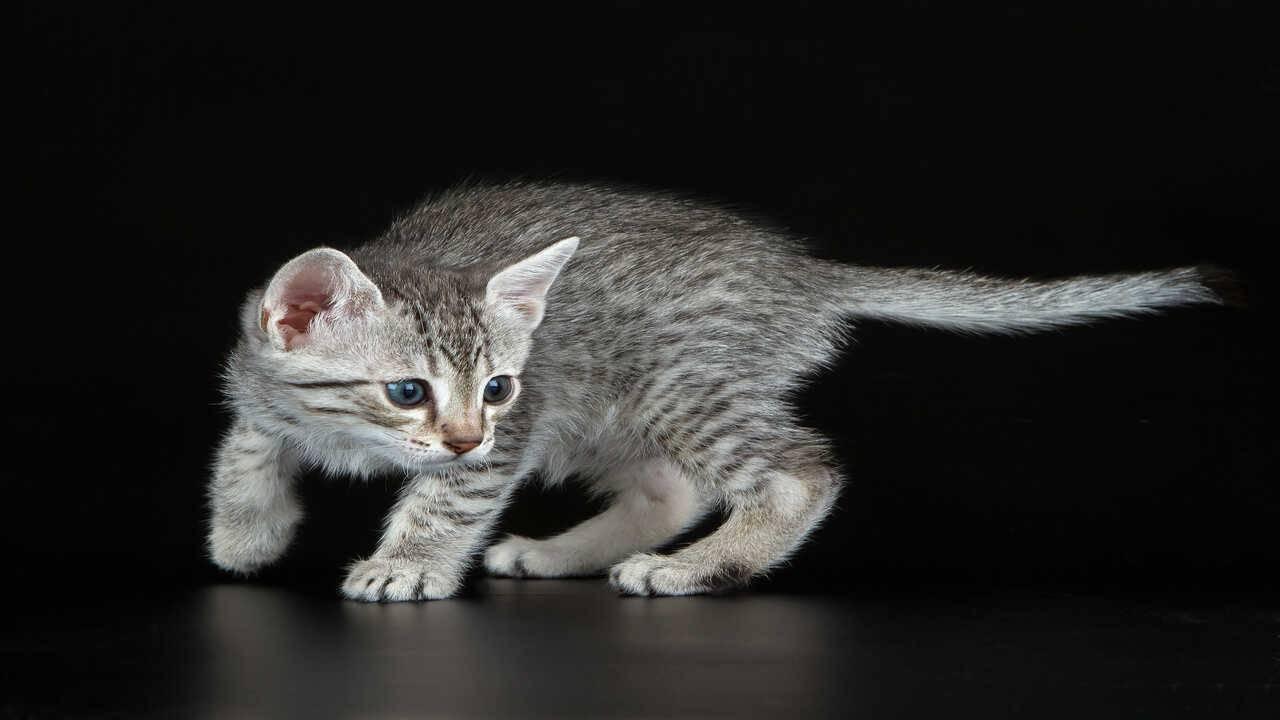 razze gatti paurose