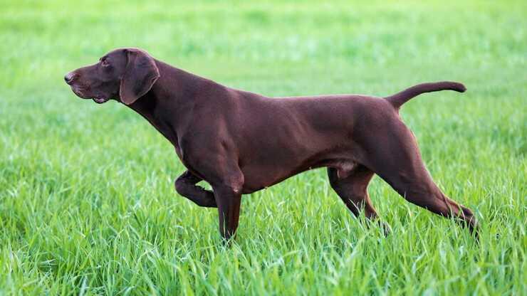 cane caccia lucertole