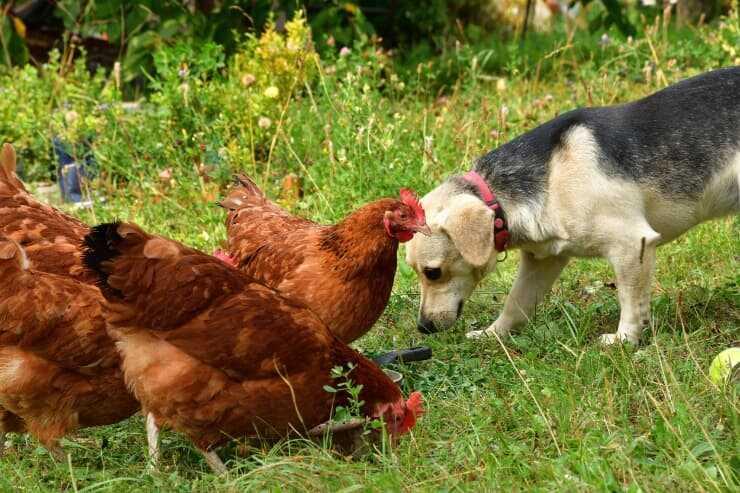 Convivenza tra cane e galline