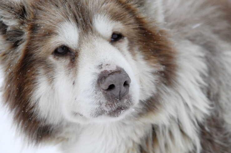 razze cani nordici slitta