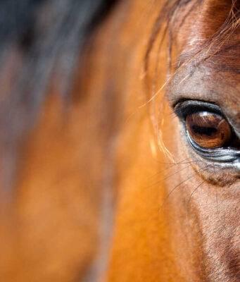 febbre nel cavallo