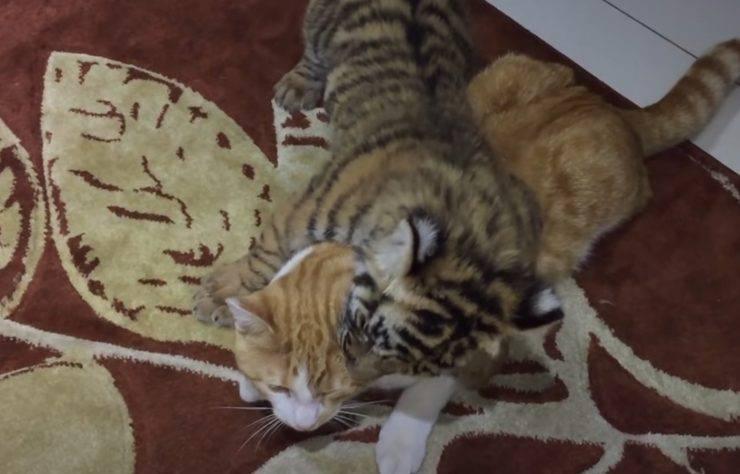 gattino tigrotto migliori amici