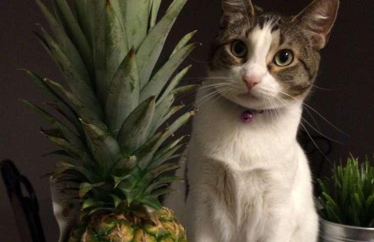 ananas al gatto