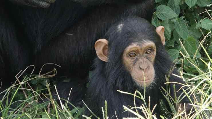 Scimpanzè in primo piano (Foto Pixabay)