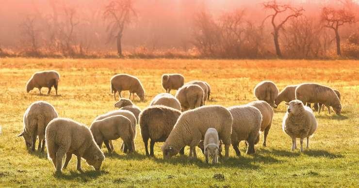 gruppo di pecore (Foto Pixabay)
