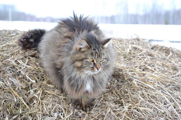 Razze di gatti con la coda spessa: Siberiano