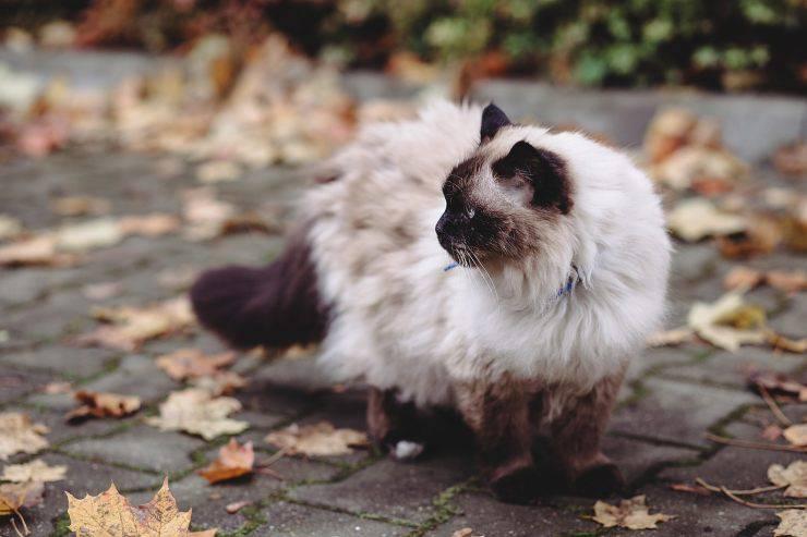 Razze di gatti con la coda spessa: Sacro di Birmania