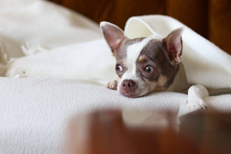 Astrofobia nei cani