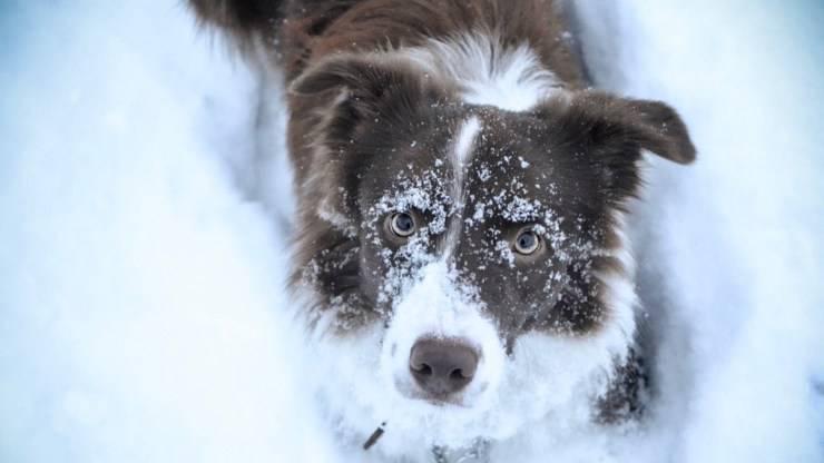 cane border collie malattie comuni predisposizioni razza cani