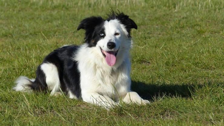 border collie razze compatibili cani
