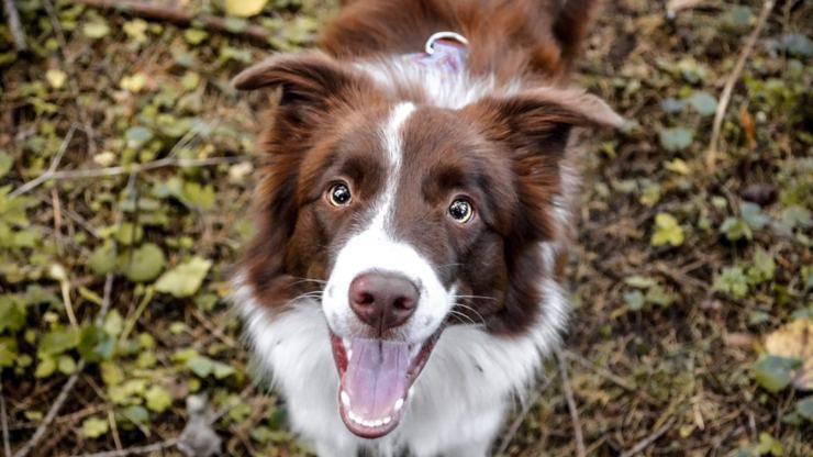 border collie cane curiosità razza aneddoti storie origini
