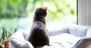 gatto gratta aria finestra british shorthair