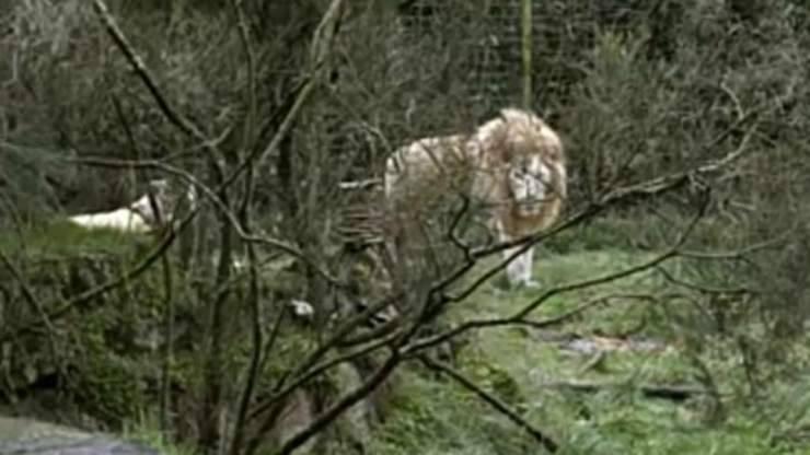 Leone avvistato nello zoo (Foto video)