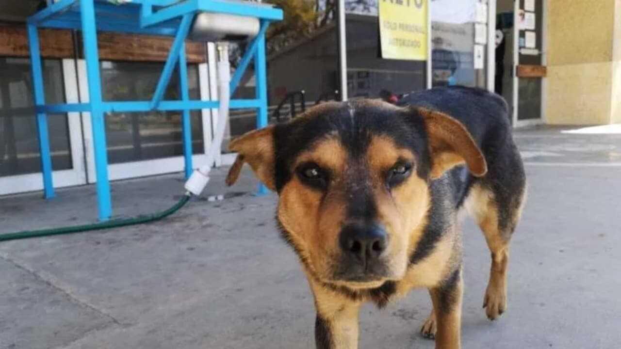 Covito, il cucciolo che ha aspettato il suo proprietario davanti all'ospedale