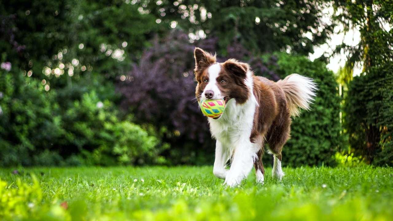 cane corre con palla
