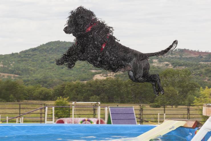 cane d'acqua portoghese